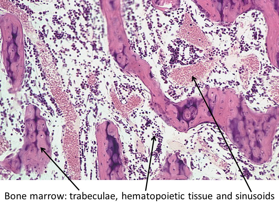 Bone marrow: trabeculae, hematopoietic tissue and sinusoids