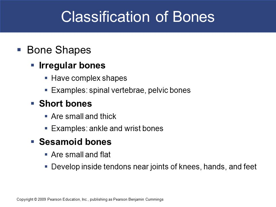 Copyright © 2009 Pearson Education, Inc., publishing as Pearson Benjamin Cummings Classification of Bones  Bone Shapes  Irregular bones  Have complex shapes  Examples: spinal vertebrae, pelvic bones  Short bones  Are small and thick  Examples: ankle and wrist bones  Sesamoid bones  Are small and flat  Develop inside tendons near joints of knees, hands, and feet