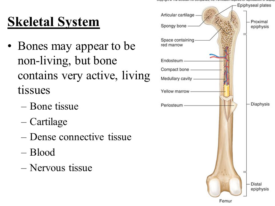 Bones may appear to be non-living, but bone contains very active, living tissues –Bone tissue –Cartilage –Dense connective tissue –Blood –Nervous tissue Skeletal System
