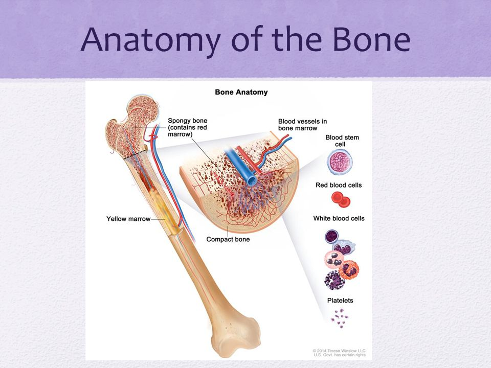 Anatomy of the Bone