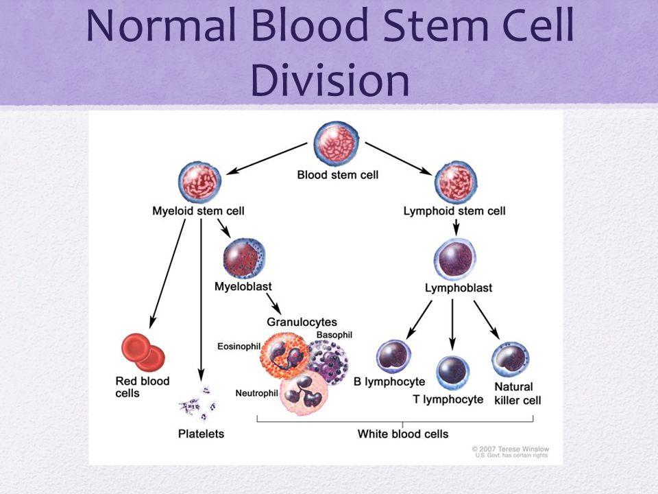 Normal Blood Stem Cell Division