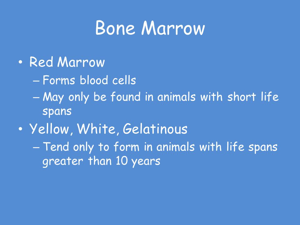 Bone Marrow Red Marrow – Forms blood cells – May only be found in animals with short life spans Yellow, White, Gelatinous – Tend only to form in anima
