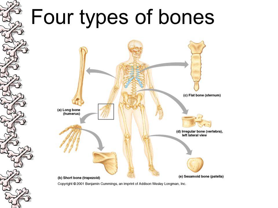 Four types of bones
