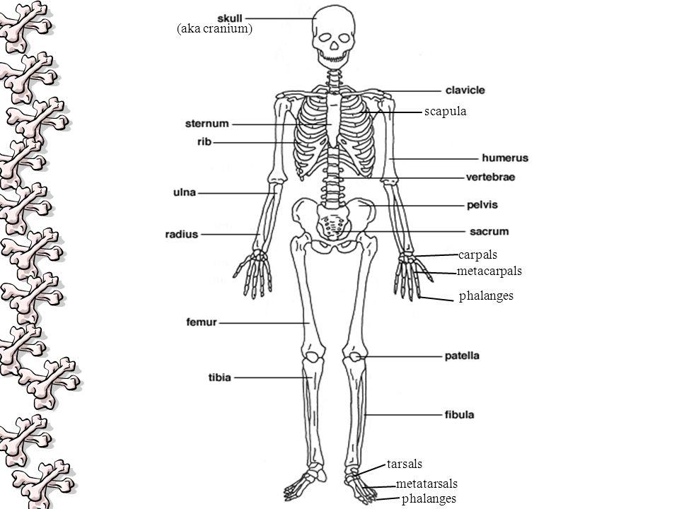 metacarpals phalanges (aka cranium) scapula metatarsals tarsals phalanges carpals