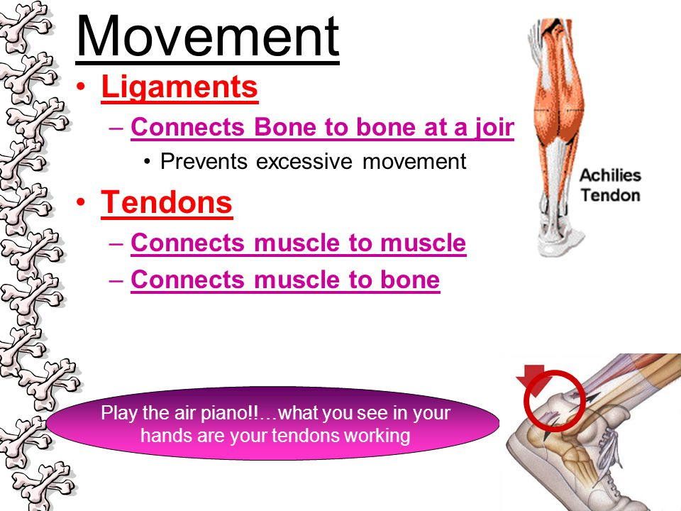 Movement Ligaments –Connects Bone to bone at a joint Prevents excessive movement Tendons –Connects muscle to muscle –Connects muscle to bone Play the
