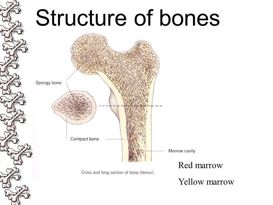 Red marrow Yellow marrow Structure of bones