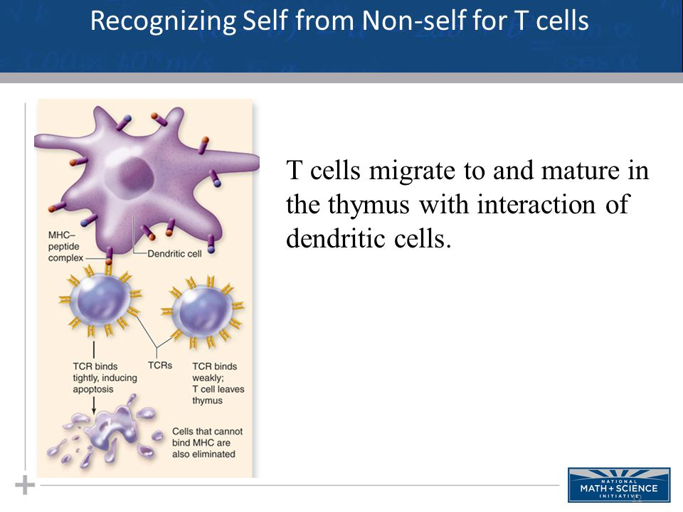 12 Recognizing Self from Non-self for T cells T cells migrate to and mature in the thymus with interaction of dendritic cells.