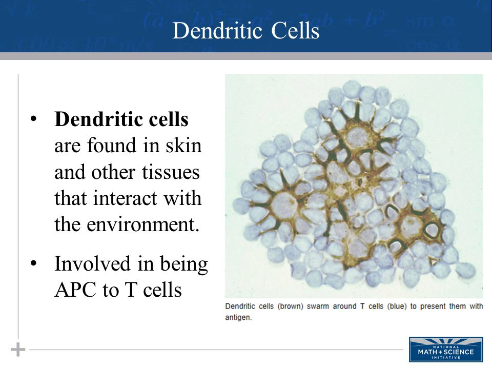 Dendritic Cells Dendritic cells are found in skin and other tissues that interact with the environment. Involved in being APC to T cells