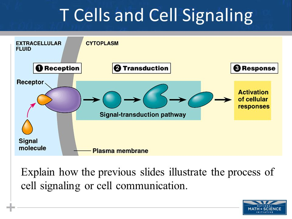 T Cells and Cell Signaling Explain how the previous slides illustrate the process of cell signaling or cell communication.