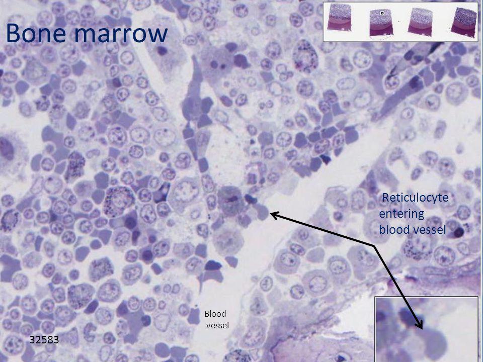 Bone marrow 32583 Reticulocyte entering blood vessel Blood vessel