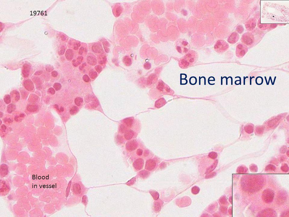 Bone marrow 19761 Blood in vessel