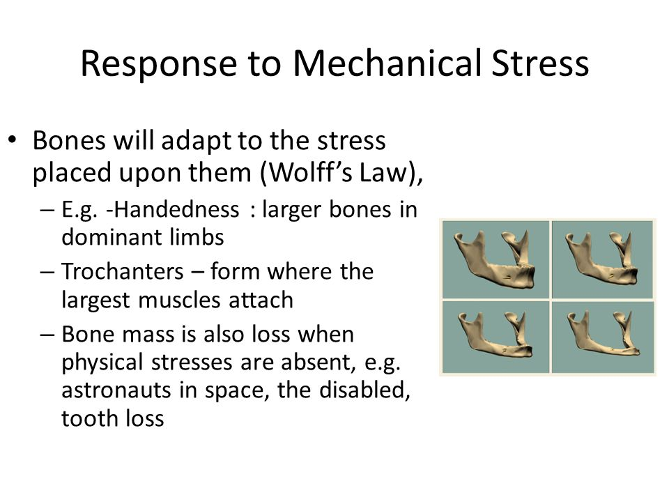 Response to Mechanical Stress Bones will adapt to the stress placed upon them (Wolff's Law), – E.g.