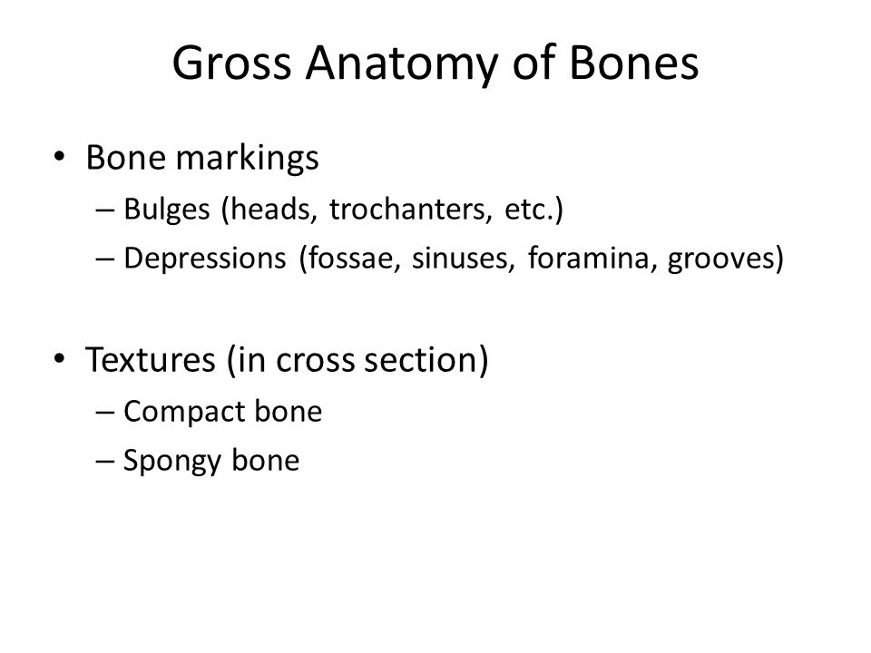 Gross Anatomy of Bones Bone markings – Bulges (heads, trochanters, etc.) – Depressions (fossae, sinuses, foramina, grooves) Textures (in cross section