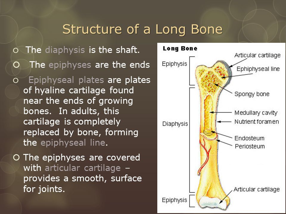 Structure of a Long Bone  The diaphysis is the shaft.