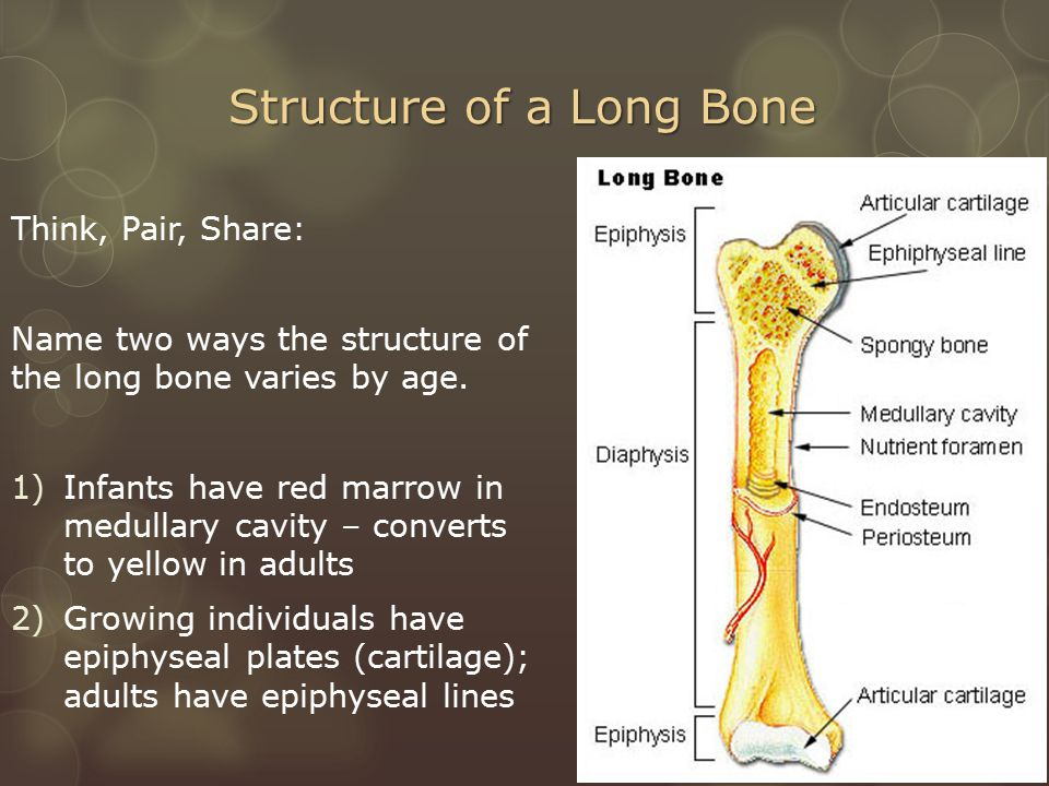 Structure of a Long Bone Think, Pair, Share: Name two ways the structure of the long bone varies by age.