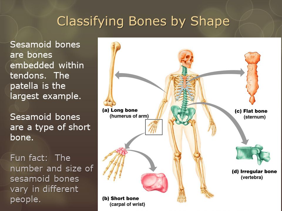 Classifying Bones by Shape Sesamoid bones are bones embedded within tendons.