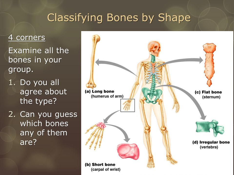 Classifying Bones by Shape 4 corners Examine all the bones in your group.