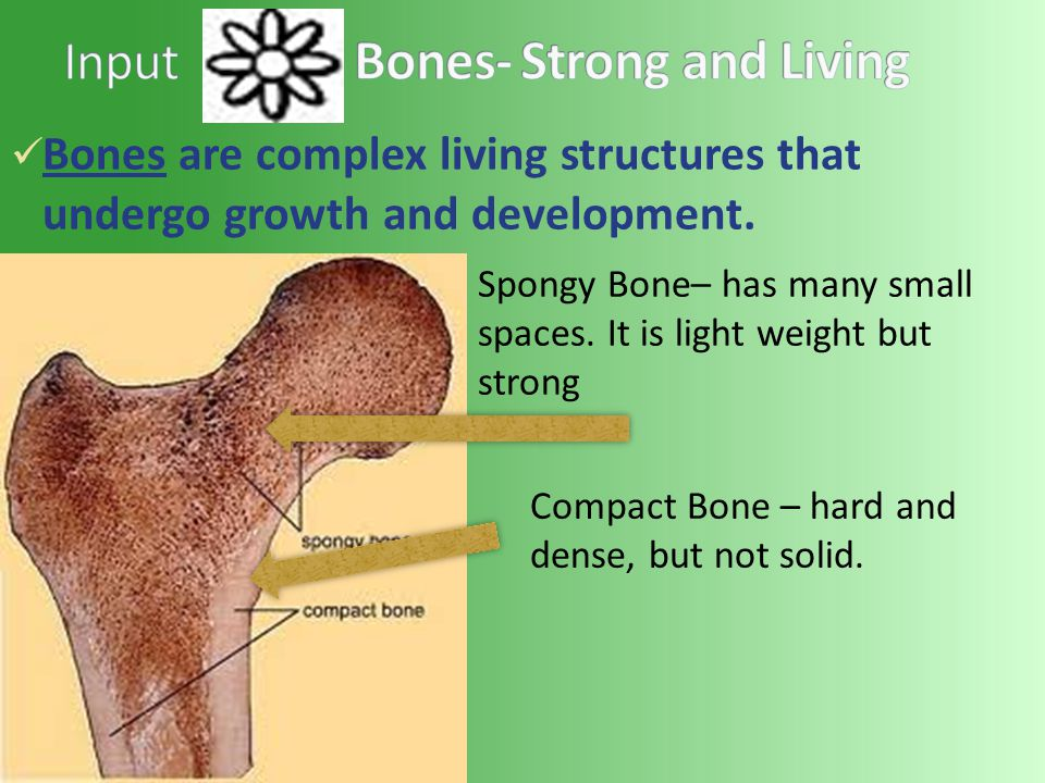 Bones are complex living structures that undergo growth and development.