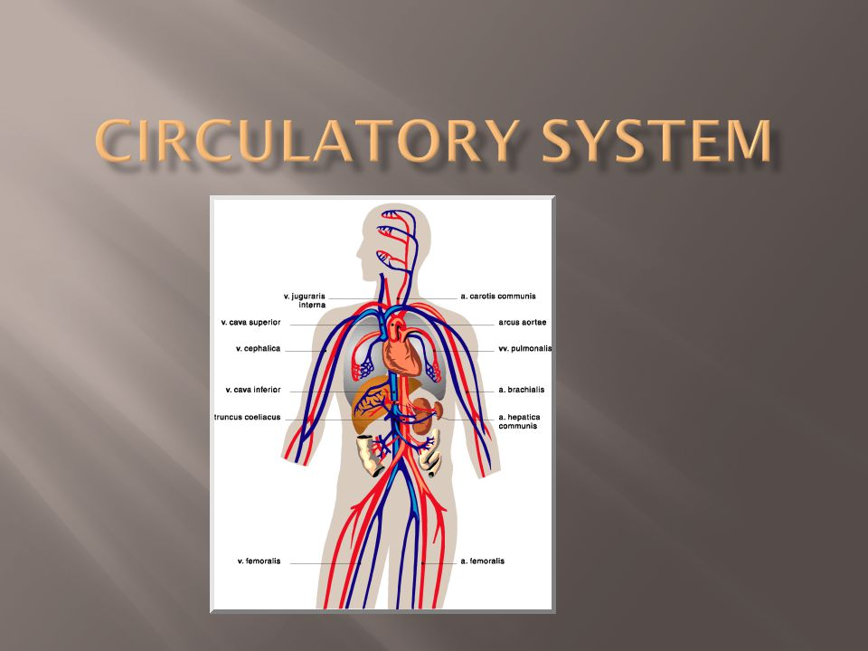  Transports food/ nutrients, oxygen, and chemicals to the cells.