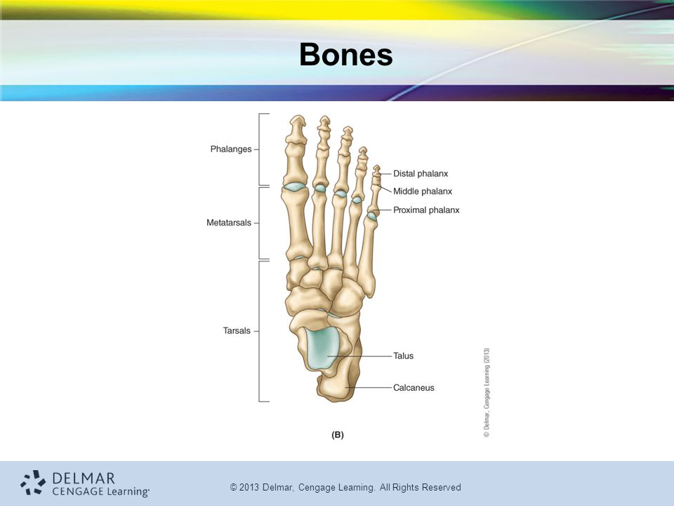 © 2013 Delmar, Cengage Learning. All Rights Reserved Bones