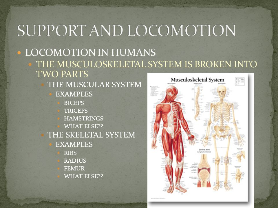 LOCOMOTION IN HUMANS THE HUMAN MUSCULOSKELETAL SYSTEM