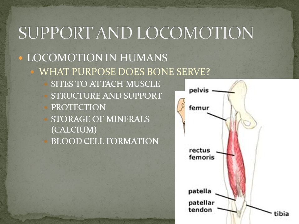 LOCOMOTION IN HUMANS THE SKELETAL SYSTEM MADE UP OF TWO COMPONENTS BONE & CARTILAGE