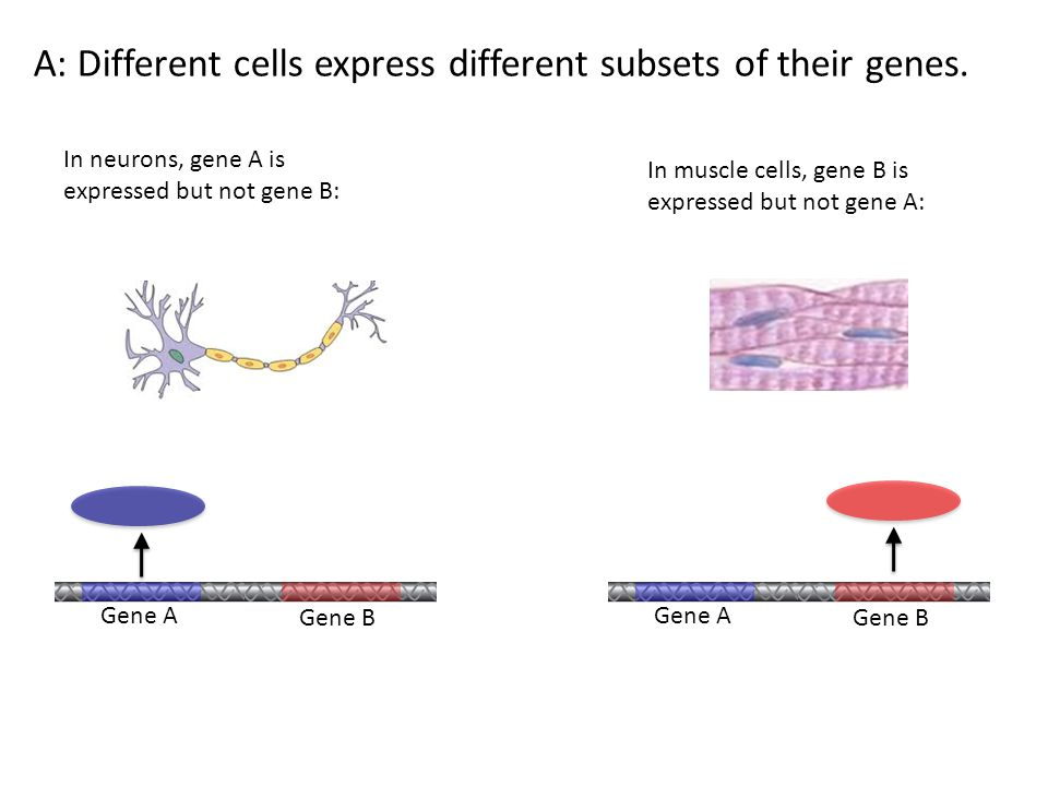 A: Different cells express different subsets of their genes.