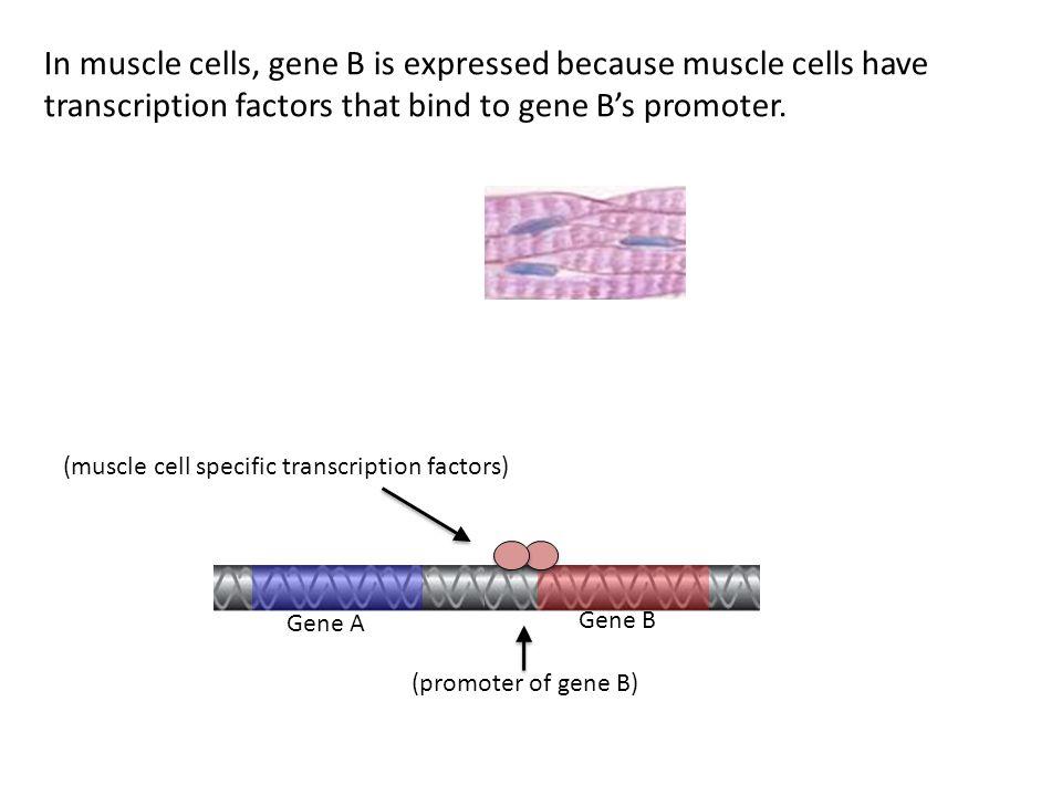 Gene A Gene B (muscle cell specific transcription factors) (promoter of gene B) In muscle cells, gene B is expressed because muscle cells have transcription factors that bind to gene B's promoter.