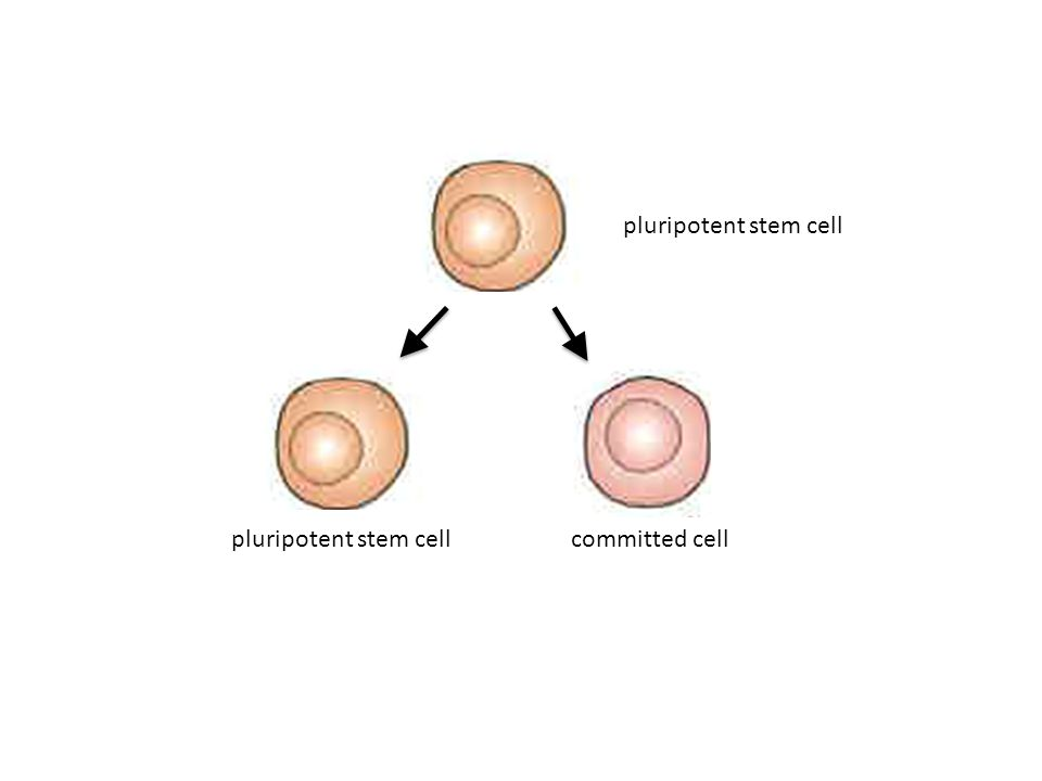 pluripotent stem cell committed cell