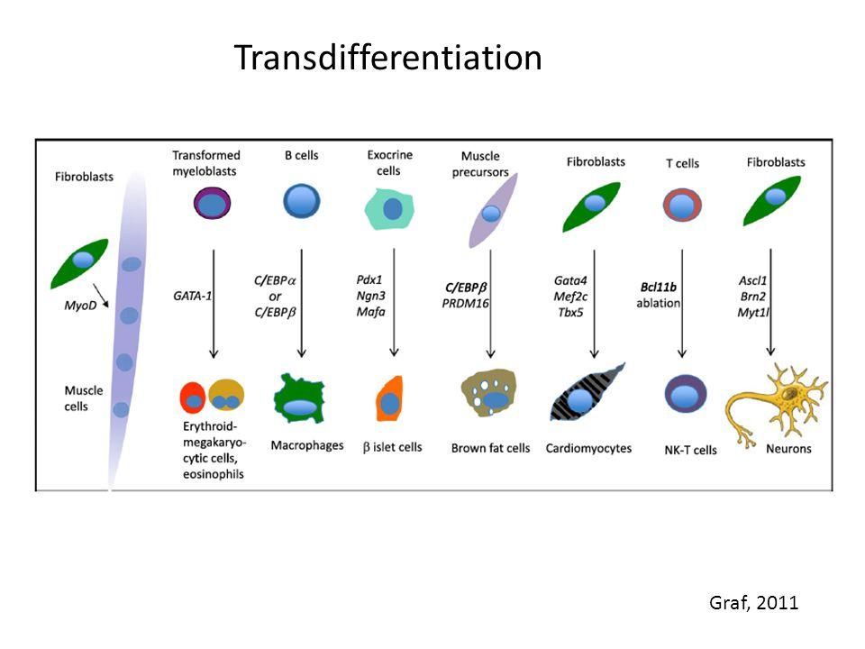 Transdifferentiation Graf, 2011