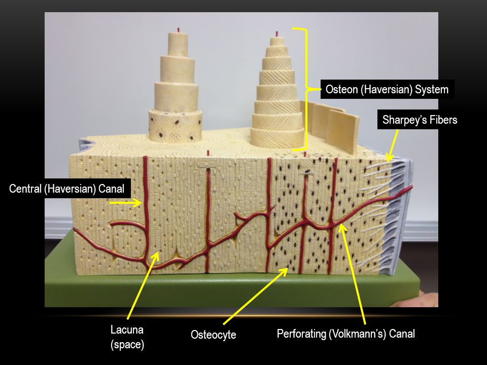 Periosteum Spongy Bone Compact Bone Osteon System Central Canal