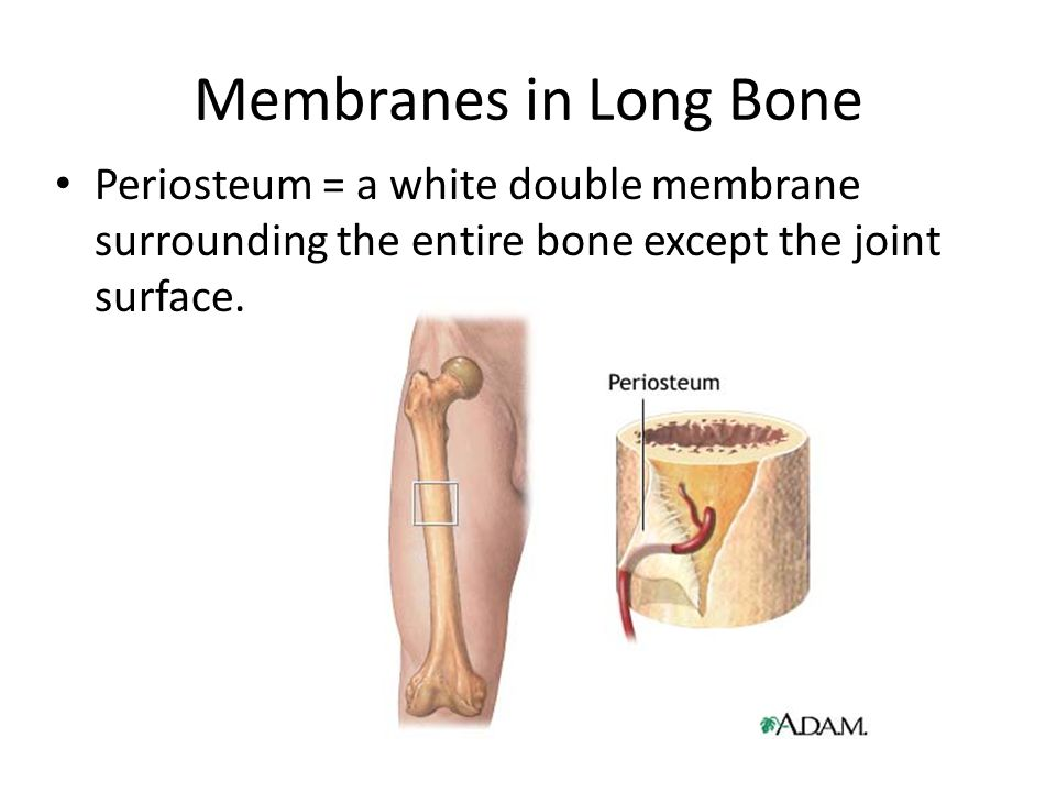 Membranes in Long Bone Periosteum = a white double membrane surrounding the entire bone except the joint surface.