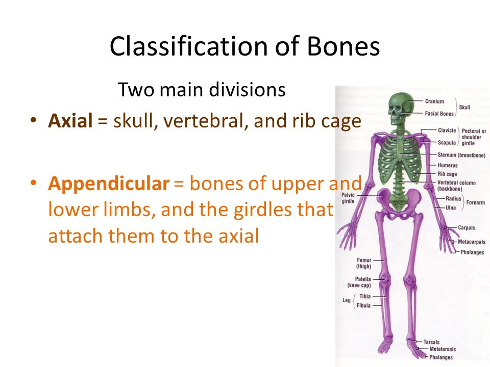 Classification of Bones Two main divisions Axial = skull, vertebral, and rib cage Appendicular = bones of upper and lower limbs, and the girdles that attach them to the axial
