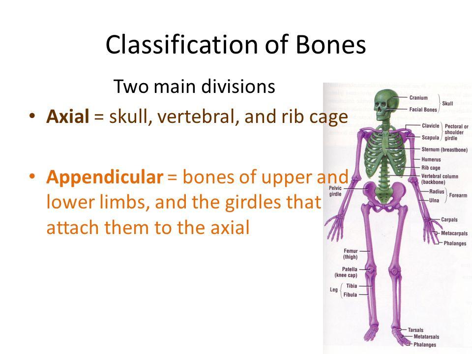 Bone types Long bones- Short bones- Short bones- Flat bones Flat bones One Fish One Fish Two Fish Two Fish Irregular bones- Irregular bones- Sesamoid (Seed like) Sesamoid (Seed like) Find these bones on our skeletons, Yossarian and Cassandra Find these bones on our skeletons, Yossarian and Cassandra