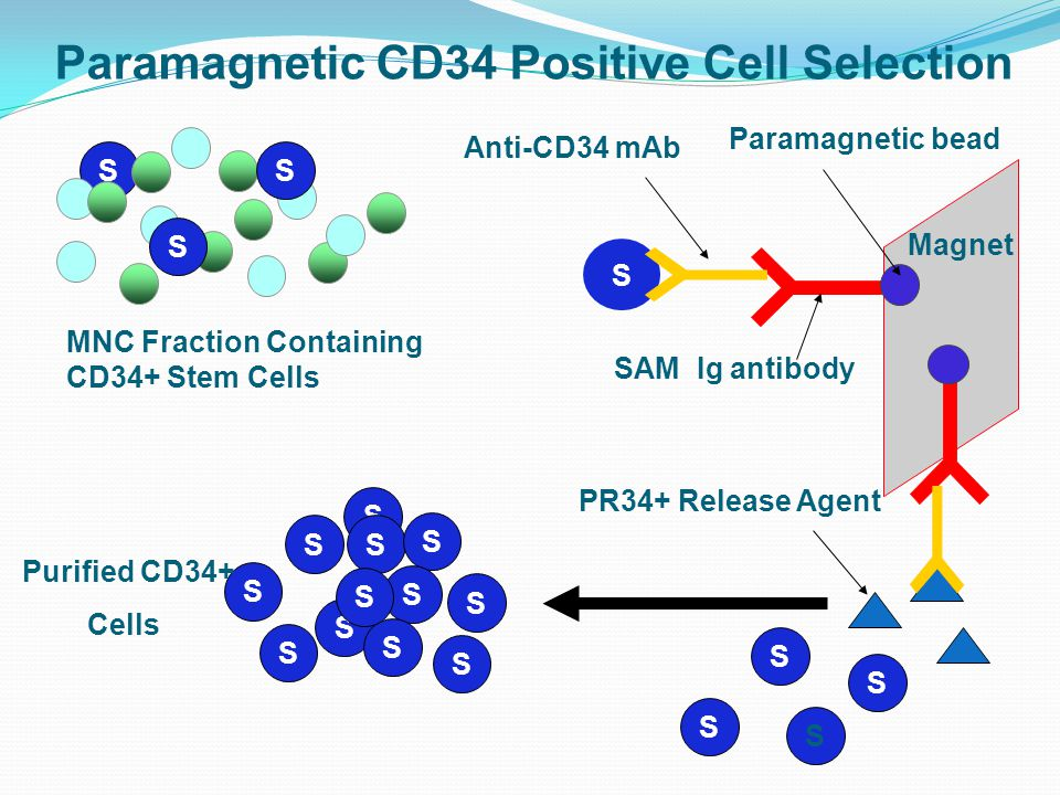 Paramagnetic CD34 Positive Cell Selection S S S S S S S S S S S S S Magnet S S S S S S Anti-CD34 mAb Paramagnetic bead SAM Ig antibody MNC Fraction Containing CD34+ Stem Cells Purified CD34+ Cells PR34+ Release Agent S S