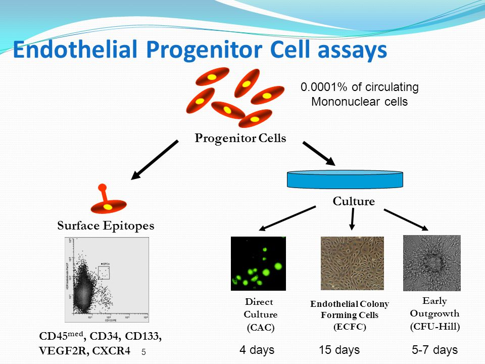 5 Endothelial Progenitor Cell assays Progenitor Cells Culture Surface Epitopes CD45 med, CD34, CD133, VEGF2R, CXCR4 Direct Culture (CAC) Early Outgrowth (CFU-Hill) 4 days 15 days 5-7 days 0.0001% of circulating Mononuclear cells Endothelial Colony Forming Cells (ECFC)