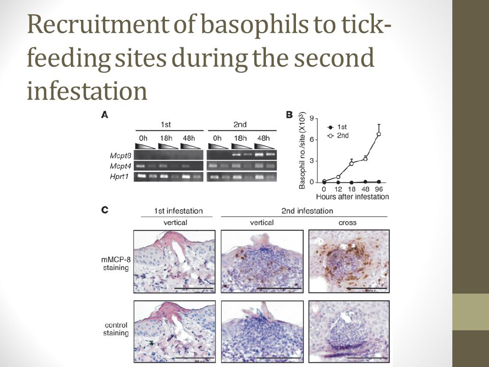 Recruitment of basophils to tick- feeding sites during the second infestation