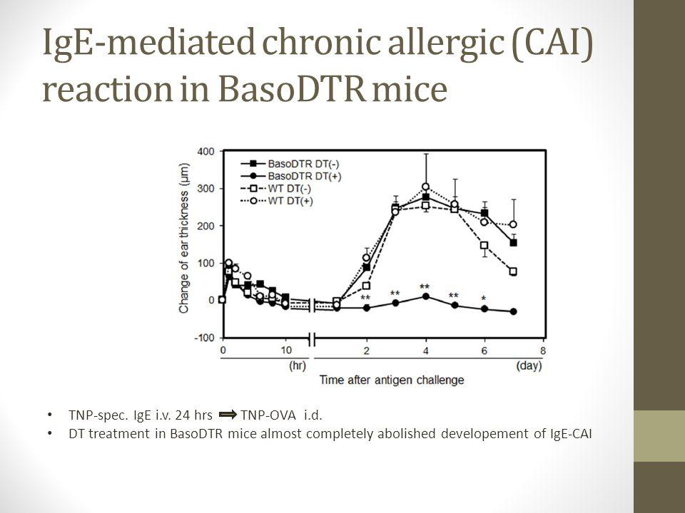 IgE-mediated chronic allergic (CAI) reaction in BasoDTR mice TNP-spec. IgE i.v. 24 hrs TNP-OVA i.d. DT treatment in BasoDTR mice almost completely abo