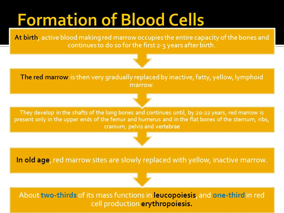 About two-thirds of its mass functions in leucopoiesis, and one-third in red cell production erythropoiesis. In old age, red marrow sites are slowly r