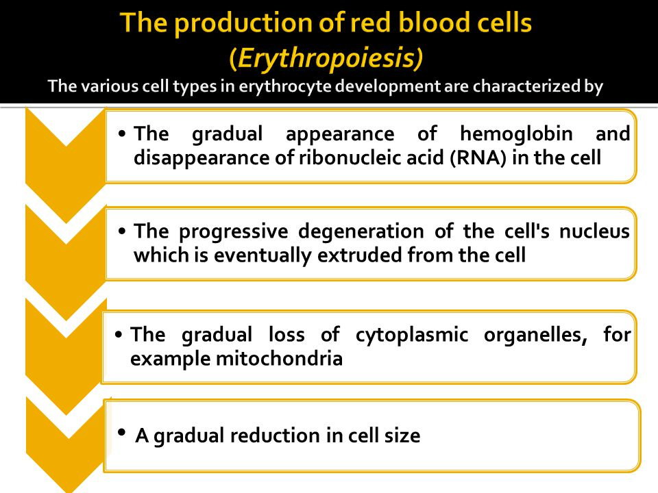 The gradual appearance of hemoglobin and disappearance of ribonucleic acid (RNA) in the cell The progressive degeneration of the cell's nucleus which