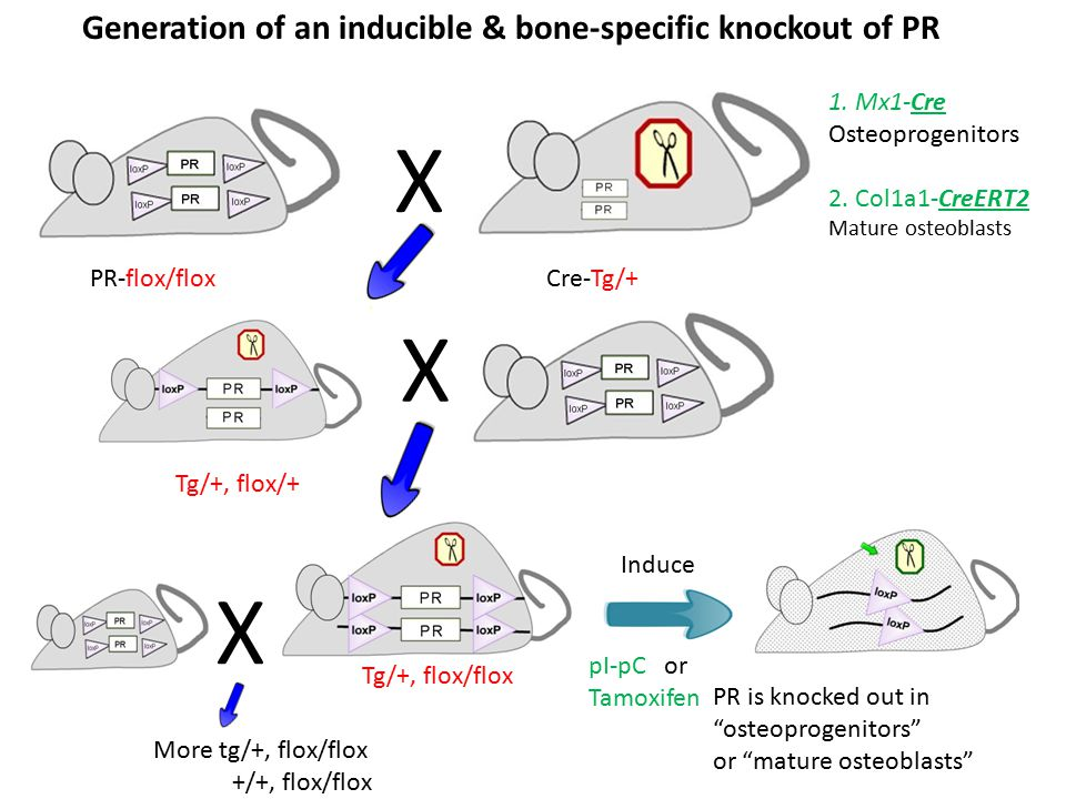 Cre-Tg/+ Generation of an inducible & bone-specific knockout of PR X X PR-flox/flox Tg/+, flox/flox Tg/+, flox/+ 1. Mx1-Cre Osteoprogenitors 2. Col1a1