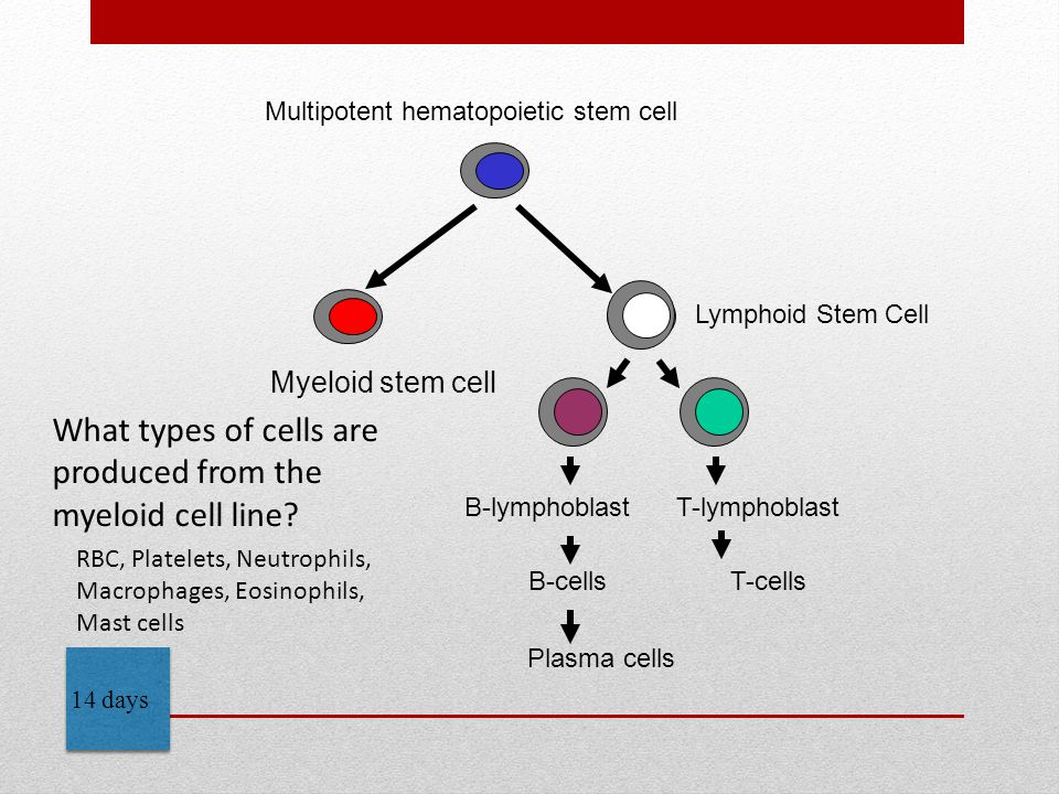 Myeloid stem cell B-lymphoblast T-lymphoblast B-cells T-cells Lymphoid Stem Cell Plasma cells Multipotent hematopoietic stem cell 14 days What types of cells are produced from the myeloid cell line.