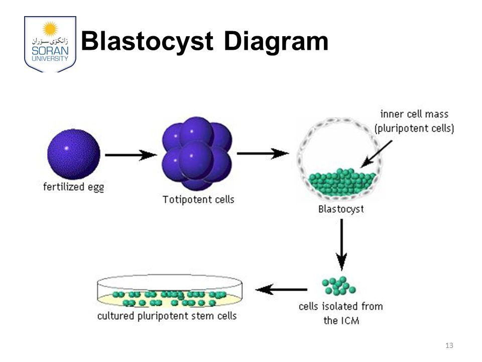 Blastocyst Diagram 13