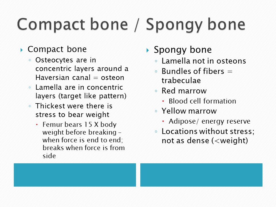  Compact bone ◦ Osteocytes are in concentric layers around a Haversian canal = osteon ◦ Lamella are in concentric layers (target like pattern) ◦ Thickest were there is stress to bear weight  Femur bears 15 X body weight before breaking – when force is end to end; breaks when force is from side  Spongy bone ◦ Lamella not in osteons ◦ Bundles of fibers = trabeculae ◦ Red marrow  Blood cell formation ◦ Yellow marrow  Adipose/ energy reserve ◦ Locations without stress; not as dense (<weight)
