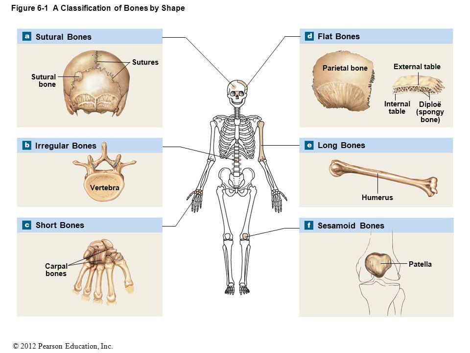 © 2012 Pearson Education, Inc. Figure 6-1 A Classification of Bones by Shape Sutures Sutural bone Vertebra Carpal bones Parietal bone External table I