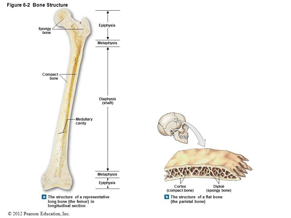 © 2012 Pearson Education, Inc. Figure 6-2 Bone Structure Epiphysis Diaphysis (shaft) Metaphysis Medullary cavity Compact bone Spongy bone Epiphysis Me