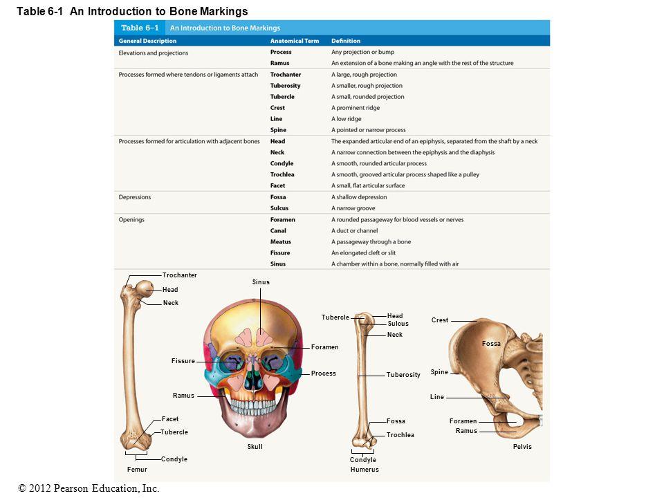 © 2012 Pearson Education, Inc. Table 6-1 An Introduction to Bone Markings Sinus Trochanter Head Neck Facet Tubercle Condyle Femur Fissure Ramus Forame