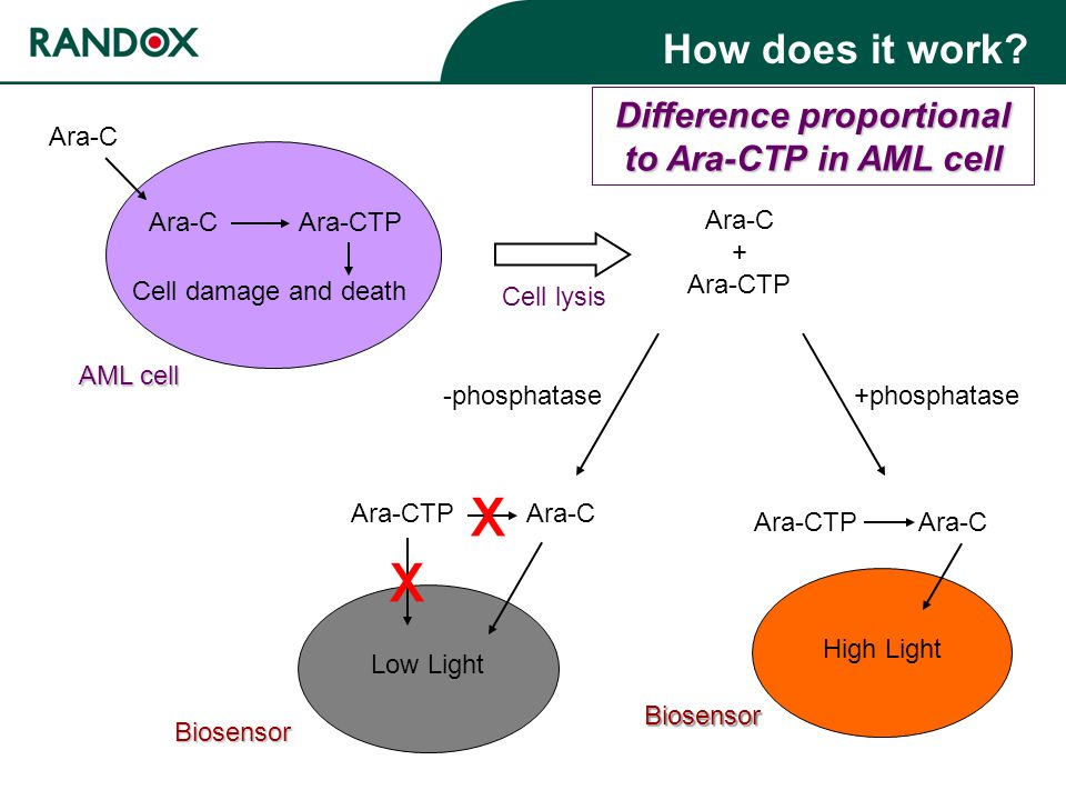 Biosensor Difference proportional to Ara-CTP in AML cell Ara-C Ara-CTP Cell damage and death Ara-C AML cell Cell lysis Ara-C + Ara-CTP +phosphatase -phosphatase Ara-CTP Ara-C Ara-C Low Light Ara-CTP High Light Biosensor How does it work