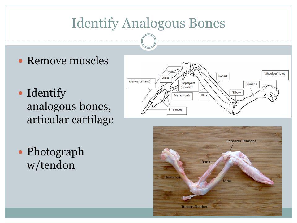 Identify Analogous Bones Remove muscles Identify analogous bones, articular cartilage Photograph w/tendon