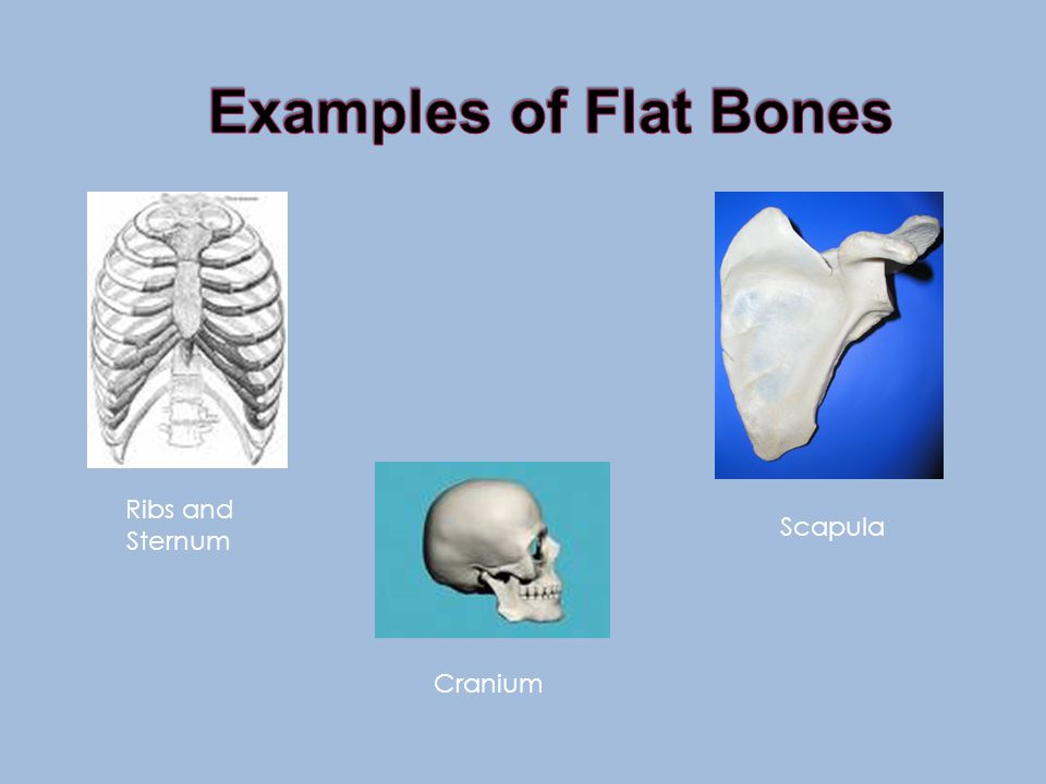 Flat Bones *strong, flat plates of bone *Function is protection of the bodies vital organs and being a base for muscular attachment *Anterior and post